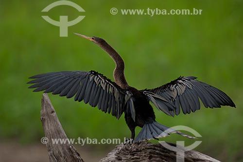 Assunto: Biguatinga, ou carará (Anhinga anhinga) fêmea, secando as asas na beira do lago Mamirauá  / Local:  Reserva de Desenvolvimento Sustentável Mamirauá - Amazonas - AM - Brasil  / Data: 2007