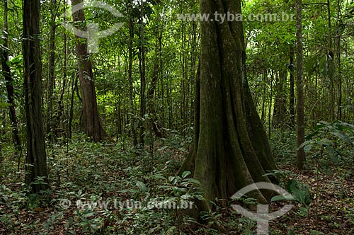 Assunto: Floresta amazônica de várzea na época da seca, na beira do lago Mamirauá  / Local:  Reserva de Desenvolvimento Sustentável Mamirauá - Amazonas - AM - Brasil  / Data: 2007