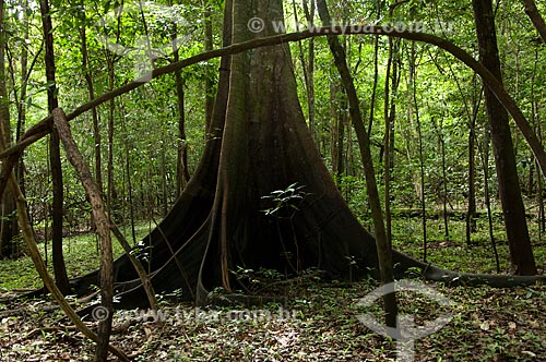 Assunto: Urucurana (Sloanea guianensis) Floresta amazônica de várzea na época da seca, na beira do lago Mamirauá  / Local:  Reserva de Desenvolvimento Sustentável Mamirauá - Amazonas - AM - Brasil  / Data: 2007