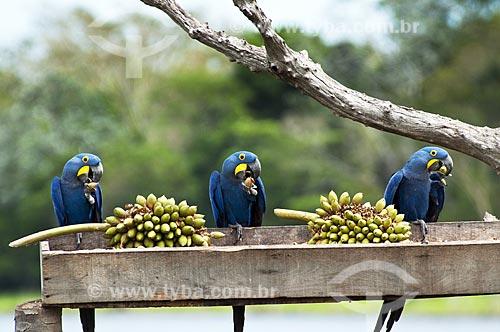Assunto: Araras-azuis comendo fruto do bacuri / Local: Pantanal - Mato Grosso do Sul - MS - Brasil / Data: 10/2010