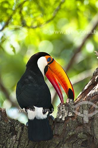 Assunto: Tucano-toco arrancando pedaço de casca / Local: Pantanal - Mato Grosso do Sul - MS - Brasil / Data: 10/2010