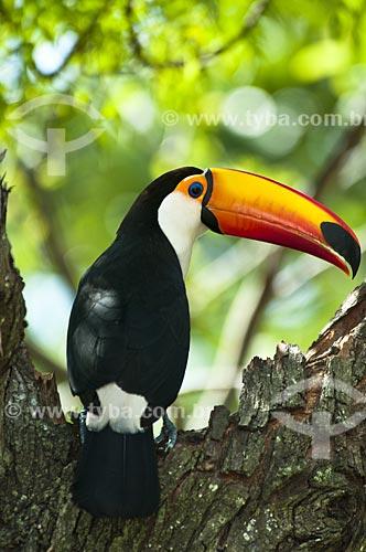 Assunto: Tucano-toco  / Local: Pantanal - Mato Grosso do Sul - MS - Brasil / Data: 10/2010