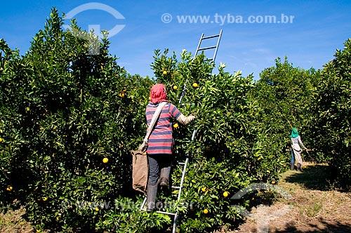 Assunto: Colheita de laranjas da variedade lima  / Local: Conchal - São Paulo (SP) - Brasil / Data: 06/2010