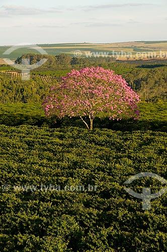 Assunto: Plantação de café com ipês-roxos / Local: Garça - São Paulo (SP) - Brasil / Data: 06/2010