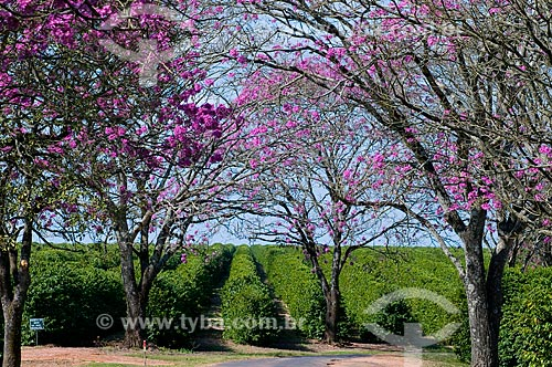 Assunto: Ipês-roxos com plantação de café ao fundo / Local: Garça - São Paulo (SP) - Brasil / Data: 06/2010