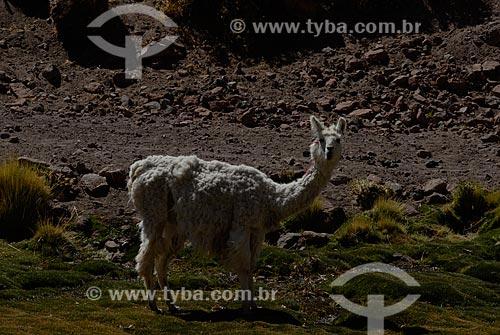Assunto: Lhama no Rio Puritama   / Local: Chile - América do Sul / Data: 01/2011