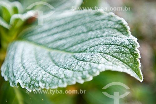 Assunto: Folha de hortênsia - Hydrangea macrophylla / Local: Canela - Rio Grande do Sul (RS) - Brasil / Data: 05/2008