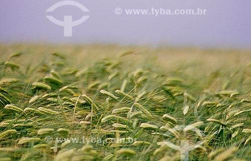 Assunto: Plantação de Cevada / Local: Passo Fundo - Rio Grande do Sul (RS) - Brasil / Data: 2007