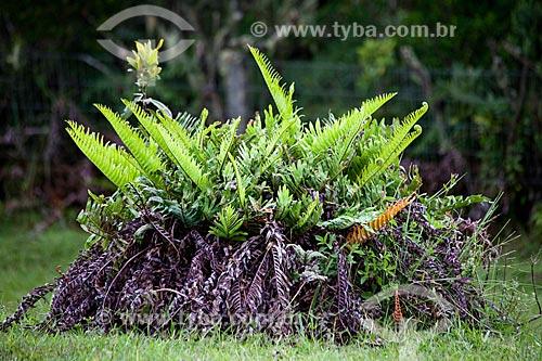 Assunto: Samambaia no Parque Nacional de Aparados da Serra / Local: Cambará do Sul - Rio Grande do Sul (RS) - Brasil / Data: 03/2011