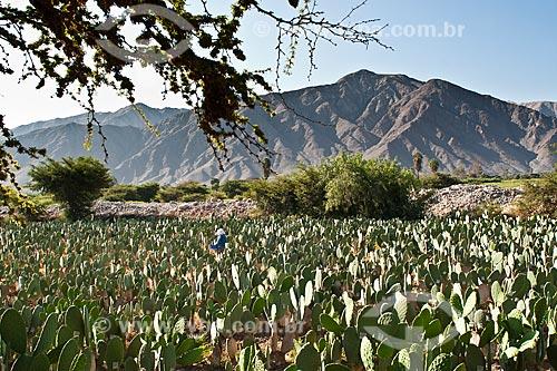 Assunto: Cactos infectados com cochonilha para produção de corantes para esmaltes / Local: Nasca - Departamento de Ica - Peru - América do Sul / Data: 20/05/2011