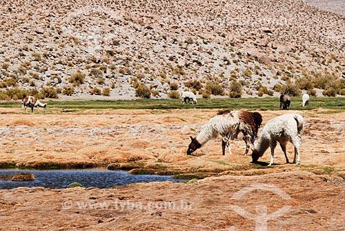 Assunto: Criação de Lhamas em Pueblo Machuca / Local: Chile - América do Sul  / Data: 01/2011