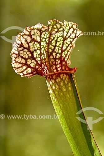 Assunto: Planta carnívora no Jardim Botânico / Local: Jardim Botânico - Rio de Janeiro (RJ) - Brasil / Data: 11/2010