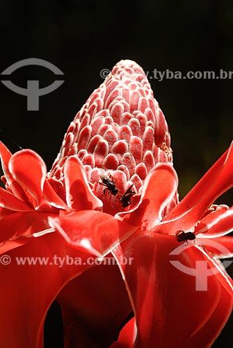 Assunto: (Phaeomeria magnifica) - Bastão do Imperador no Jardim Botânico / Local: Jardim Botânico - Rio de Janeiro (RJ) - Brasil / Data: 11/2010