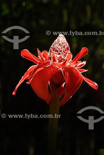 Assunto: (Phaeomeria magnifica) - Bastão do Imperador no Jardim Botânico / Local: Rio de Janeiro - Rio de Janeiro (RJ) - Brasil / Data: 11/2010