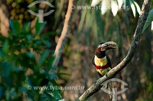 Assunto: Araçari-castanho (Pteroglossus castanotis) no Buraco das Araras / Local: Jardim - Mato Grosso do Sul (MS) - Brasil / Data: 10/2010
