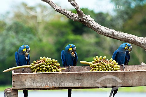 Assunto: Arara-azul (Anodorhynchus hyacinthinus) se alimentando de bacuris / Local: Corumbá - Mato Grosso do Sul (MS) - Brasil / Data: 10/2010