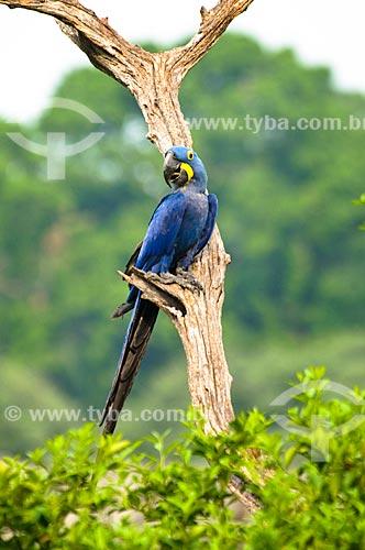 Assunto: Arara-azul (Anodorhynchus hyacinthinus) / Local: Corumbá - Mato Grosso do Sul (MS) - Brasil / Data: 10/2010