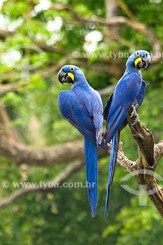 Assunto: Casal de Araras-azuis (Anodorhynchus hyacinthinus) / Local: Corumbá - Mato Grosso do Sul (MS) - Brasil / Data: 10/2010