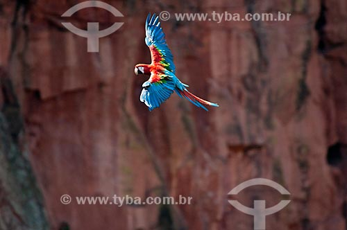 Assunto: Arara-vermelha-grande (Ara chloropterus) voando / Local: Jardim - Mato Grosso do Sul (MS) - Brasil / Data: 10/2010