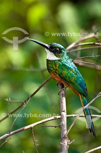 Assunto: Ariramba-de-cauda-ruiva (Galbula ruficauda) - Pantanal Matogrossense / Local: Mato Grosso do Sul (MS) - Brasil / Data: 10/2010