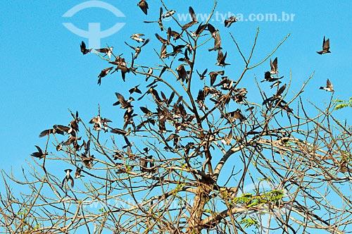 Assunto: Andorinha-do-campo (Progne tapera) - Pantanal Matogrossense  / Local: Corumbá - Mato Grosso do Sul (MS) - Brasil / Data: 10/2010