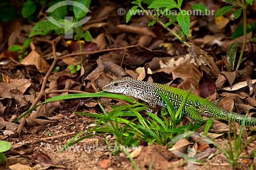 Assunto: Lagarto Bico-doce (Ameiva ameiva) - Pantanal Matogrossense / Local: Corumbá - Mato Grosso do Sul (MS) - Brasil / Data: 10/2010