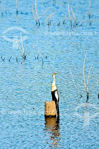Assunto: Biguatinga  (Anhinga anhinga)  / Local: Corumbá - Mato Grosso do Sul (MS) - Brasil / Data: 10/2010