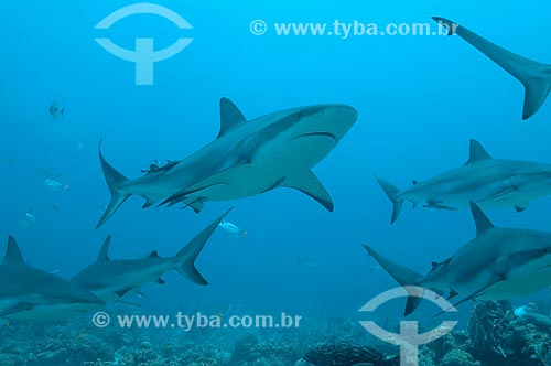 Assunto: Tubarão Cinza (Carcharhinus perezi) no Mar do Caribe / Local: Ilhas de Utila e Roatam - Honduras - América Central / Data: 06/2004