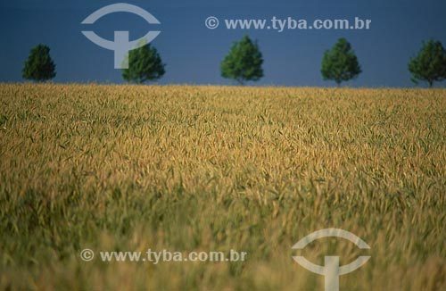 Assunto: Plantação de trigo / Local: Cruz alta - Rio Grande do Sul (RS) - Brasil / Data: 2009