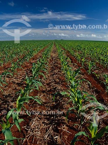 Assunto: Plantação de milho / Local: Barreiras - Bahia (BA) - Brasil / Data: 2010