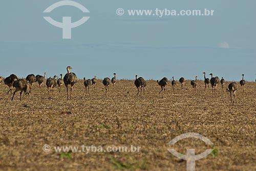 Assunto: Emas em plantação de soja / Local: Distrito Baús - Costa Rica - Mato Grosso do Sul (MS) - Brasil / Data: 02/2010