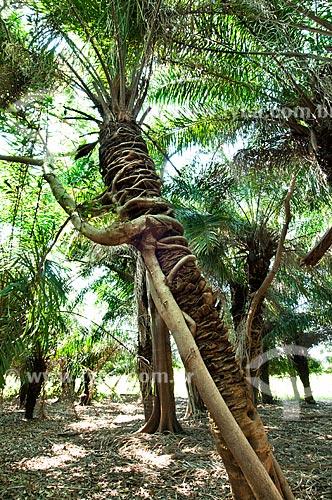 Assunto: Figueira-vermelha ou Mata-pau (Ficus clusiifolia)   / Local: Corumbá - Mato Grosso do Sul (MS) - Brasil / Data: 10/2010