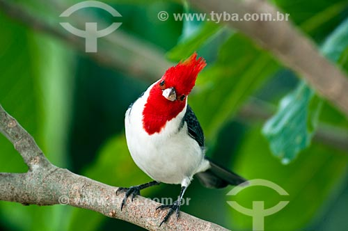 Assunto: Cardeal (Paroaria coronata)   / Local: Corumbá - Mato Grosso do Sul (MS) - Brasil    / Data: 10/2010