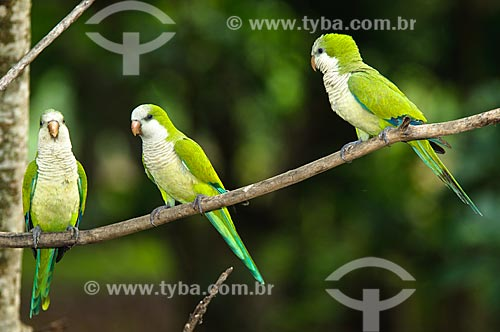 Assunto: Casal de caturritas  (Myiopsitta monachus) ensinando filhote a voar  / Local: Corumbá - Mato Grosso do Sul (MS) - Brasil / Data: 10/2010