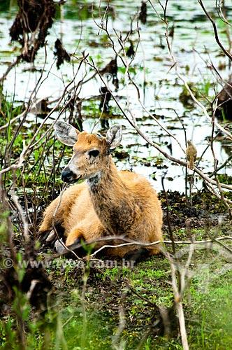 Assunto: Cervo-do-pantanal (Blastocerus dichotomus)   / Local: Corumbá - Mato Grosso do Sul (MS) - Brasil / Data: 10/2010