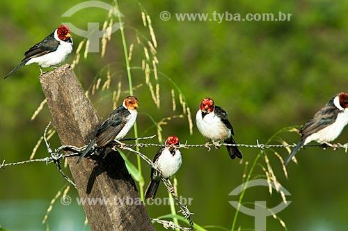 Assunto: Galo-da-Campina (Paroaria capitata) / Local: Corumbá - Mato Grosso do Sul (MS) - Brasil / Data: 10/2010