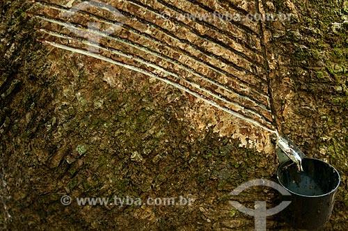 Assunto: Seringal Cachoeira - Coleta de látex para fábrica de preservativos Nátex / Local: Xapuri - Acre (AC) - Brasil / Data: 11/2009