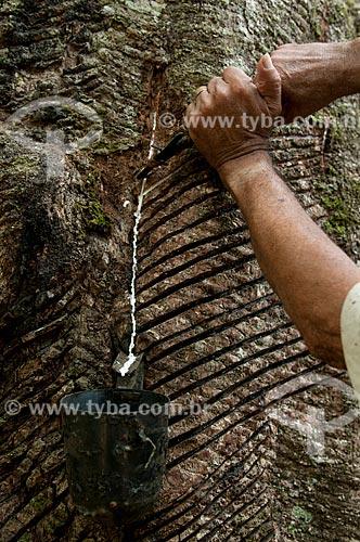 Assunto: Extração de látex - Seringal Cachoeira Reserva Extrativista Chico Mendes / Local: Xapuri - Acre (AC) - Brasil / Data: 10/2008