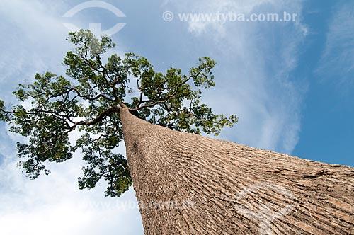 Assunto: Castanheira - Reserva Extrativista Chico Mendes / Local: Xapuri - Acre (AC) - Brasil / Data: 10/2008