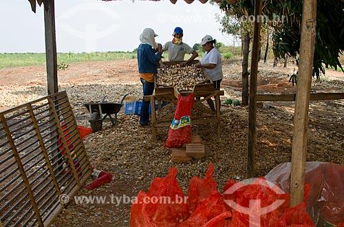 Assunto: Família selecionando cebola no Projeto Jaíba - Projeto de irrigação para a fruticultura e agricultura familiar que capta água do Rio São Francisco / Local: Jaíba - Minas Gerais (MG) - Brasil / Data: 09/2011