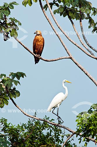 Assunto: Garça-branca-grande (Ardea alba) também conhecida como Garça-branca e Gavião-belo (Busarellus nigricollis)  / Local: Corumbá - Mato Grosso do Sul (MS) - Brasil / Data: 10/2010