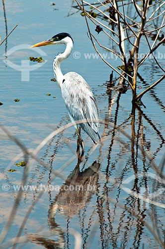 Assunto: Garça-moura ou Maguari (Ardea cocoi) / Local: Corumbá - Mato Grosso do Sul (MS) - Brasil / Data: 10/2010