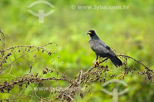 Assunto: G avião-caramujeiro (Rostrhamus sociabilis) / Local: Corumbá - Mato Grosso do Sul (MS) - Brasil / Data: 10/2010