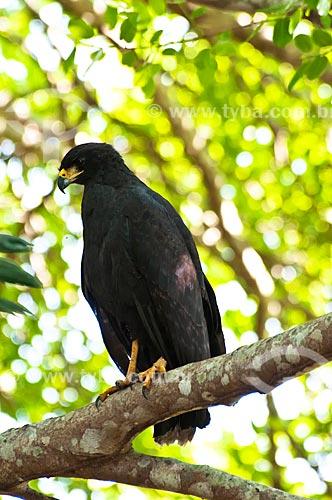 Assunto: Gavião-preto (Buteogallus urubitinga) / Local: Corumbá - Mato Grosso do Sul (MS) - Brasil / Data: 10/2010