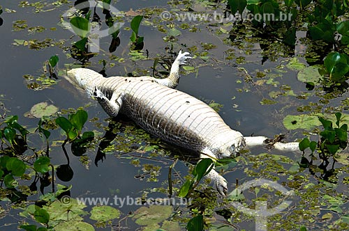 Jacaré-do-pantanal (Caiman yacare) morto por caçadores clandestinos  - Corumbá - Mato Grosso do Sul - Brasil