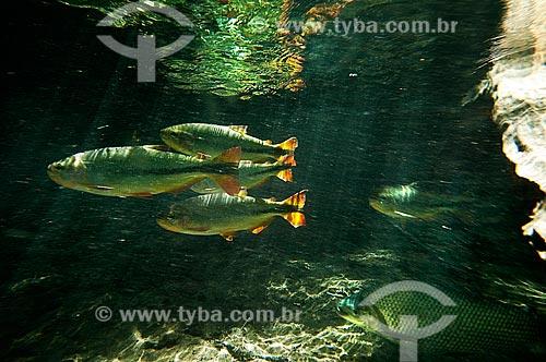 Assunto: Peixes Piraputanga e Curimbatá no Rio da Prata / Local: Jardim - Mato Grosso do Sul (MS) - Brasil / Data: 10/2010