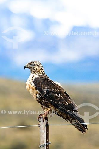 Assunto: Jovem Águia-chilena (Geranoaetus melanoleucus ou Buteo melanoleucus)  / Local: El Chaltén - Argentina - América do Sul / Data: 02/2010