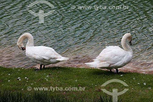 Cisne branco (cygnus olor) no Centro de Arte Contemporânea Inhotim (Instituto Inhotim)  - Brumadinho - Minas Gerais - Brasil