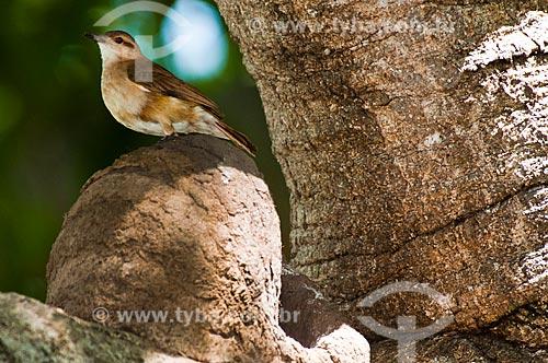 Assunto: João-de-barro (Furnarius rufus) em seu ninho (casa de barro) / Local: Corumbá - Mato Grosso do Sul (MS) - Brasil / Data: 10/2010