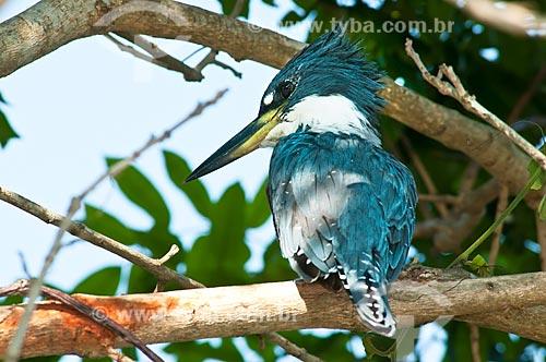 Assunto: Martim-pescador-grande (Megaceryle torquata) / Local: Corumbá - Mato Grosso do Sul (MS) - Brasil / Data: 10/2010